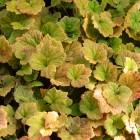 Tellima grandiflora 'Rubra' - p9