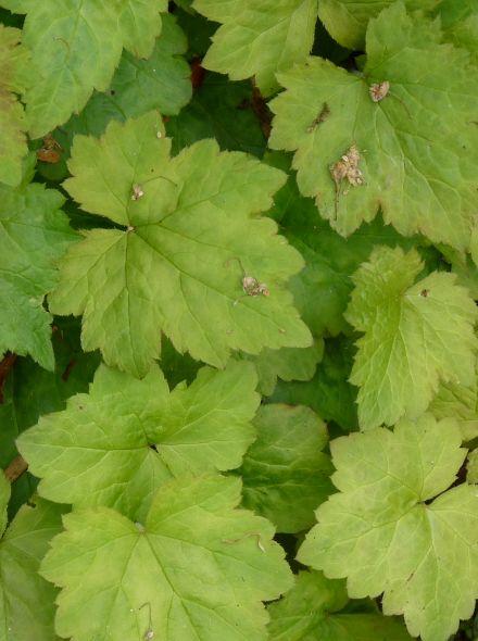 Tiarella cordifolia 'Moorgrün' (Perzische muts, schuimbloem, schuimkaars)