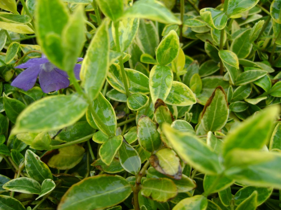 Vinca minor 'Aureovariegata' (Maagdenpalm)