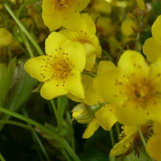 Waldsteinia ternata (Gele aardbei, Dreiblättrige Waldsteinie, Barren strawberries)