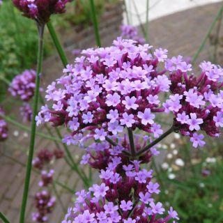 Verbena bonariensis - p9
