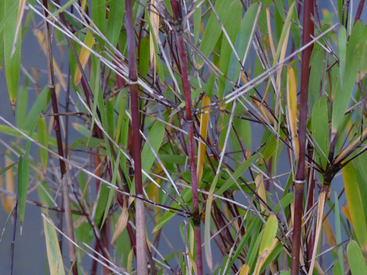 Fargesia Jiuzhaigou (Rode, fijnbladige bamboe, niet woekerende bamboe)