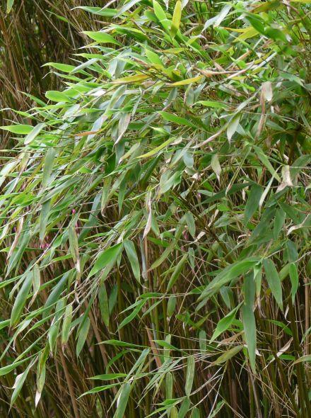 Fargesia murieliae 'Jumbo' (fijnbladige bamboe, niet woekerende bamboe)