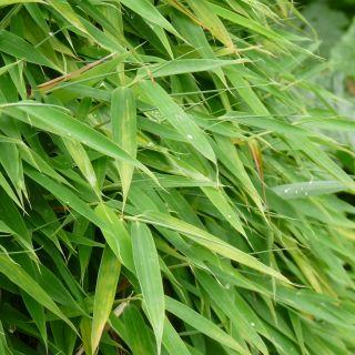 Fargesia murieliae Simba (fijnbladige niet woekerende bamboe)