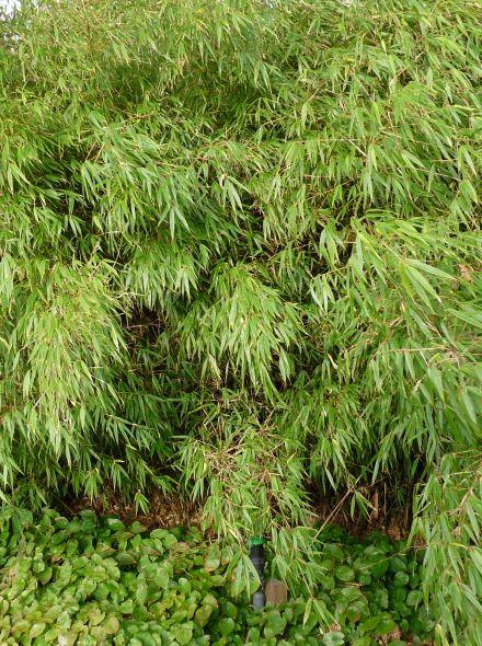 Fargesia Rufa (fijnbladige bamboe)