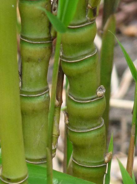 Phyllostachys aurea (meeneemhaag Goudbamboe)