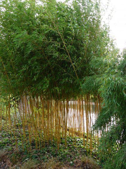 Phyllostachys aureosulcata Aureocaulis - 80/100 cm (Bamboe)