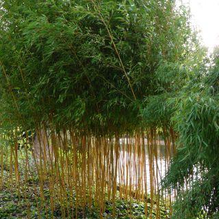 Phyllostachys aureosulcata Aureocaulis - 200/250 cm (Gele bamboe)