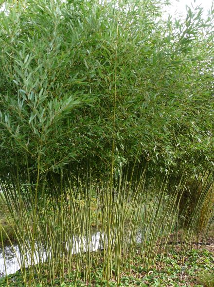Phyllostachys bissetii - 100 / 125 cm (groene bamboe)