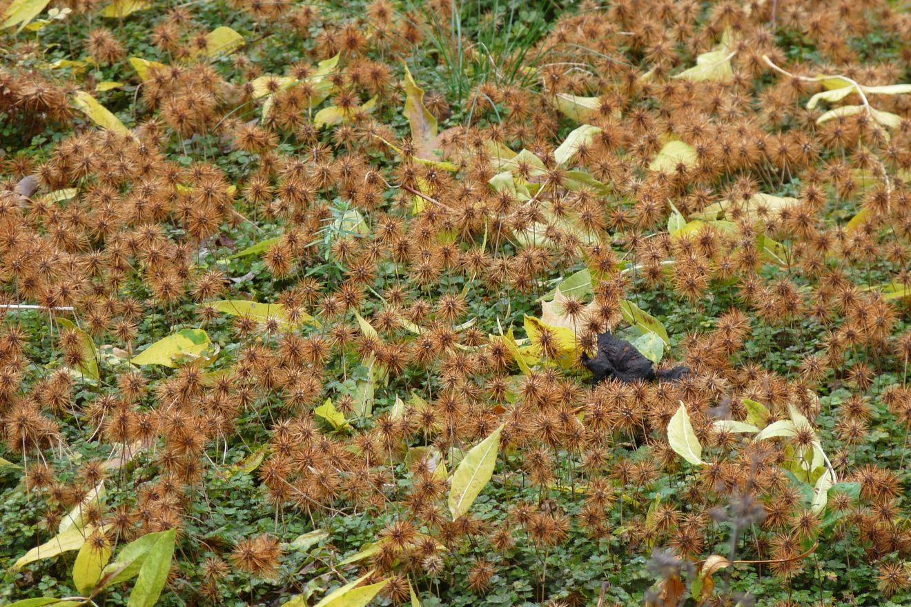 Acaena buchananii  (Stekelnootje)