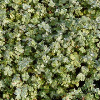 Acaena magellanica (stekelnootje)