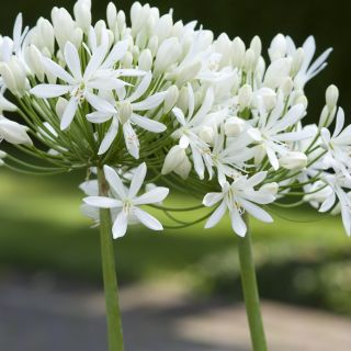 Agapanthus Africanus Albus (witte Afrikaanse Lelie, 2 liter pot, Schmucklilien, Lily of the Nile)