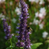 Agastache 'Black Adder' - p9