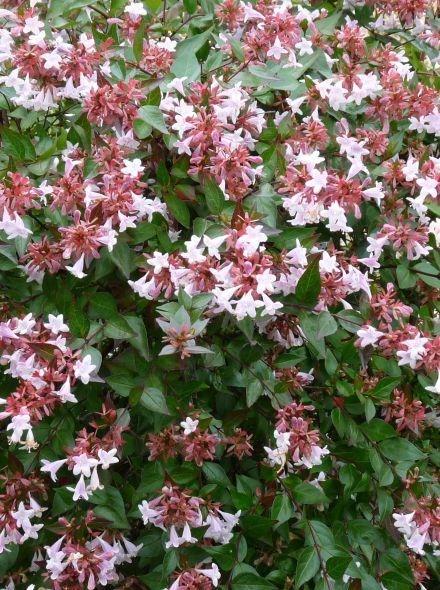 Abelia grandiflora 'Francis Mason' (Abelia)