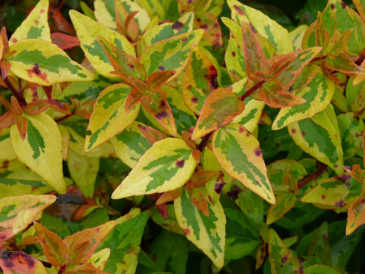 Abelia grandiflora 'Kaleidoscope' (Abelia)