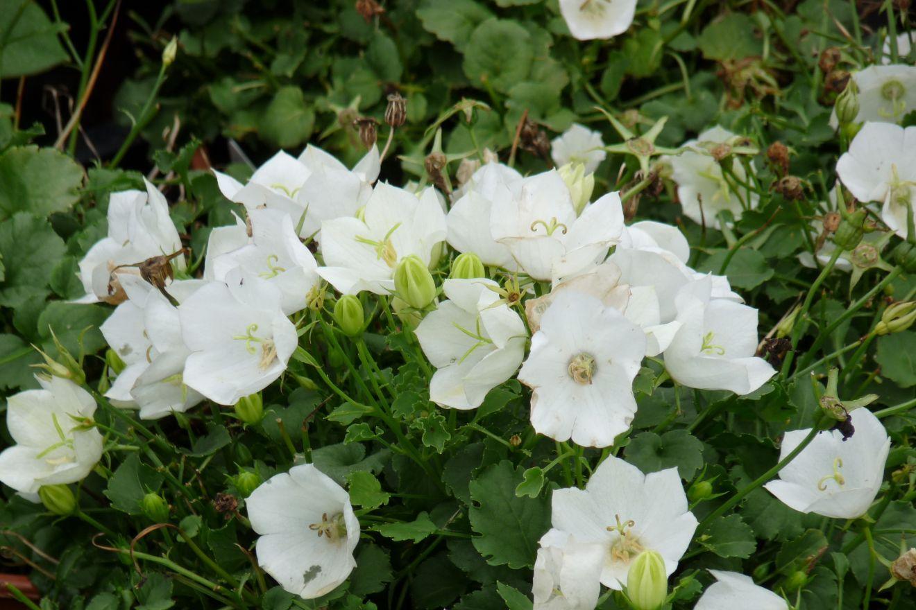 Campanula carpatica 'Weisse Clips' (Karpatenklokje, Klokjesbloem)