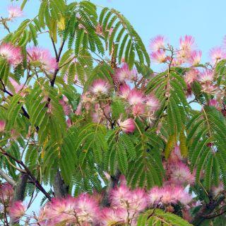 Albizia julibrissin (Perzische slaapboom, Zijdeboom)
