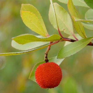 Arbutus unedo (aarbeienboom meeneemhaag)