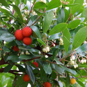 Verzorging van aardbeiboom (Arbutus)