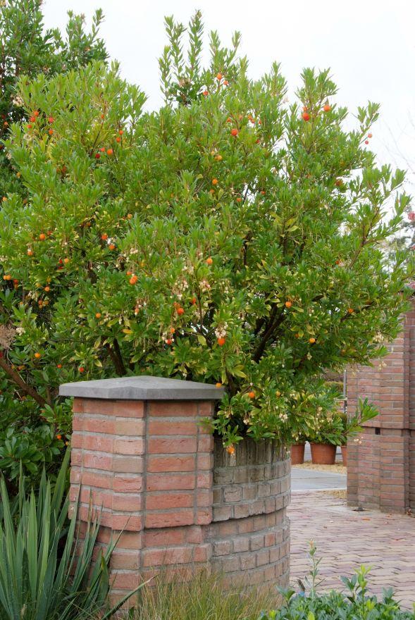 Arbutus unedo (Aardbeienboom)