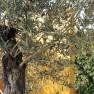 Olea europaea (Olijf als struikvorm)