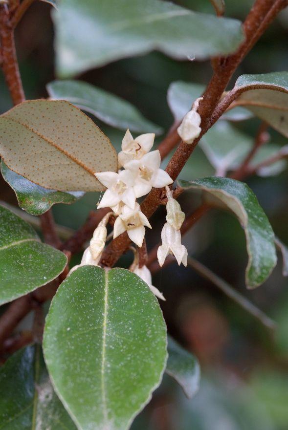 Elaeagnus ebbingei (Olijfwilg)
