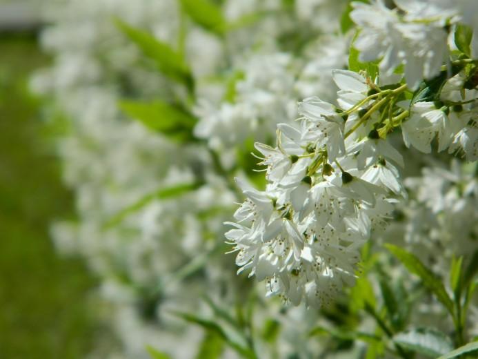 Deutzia gracilis (Bruidsbloem)