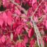 Euonymus alatus (kardinaalshoed, kardinaalsmuts)