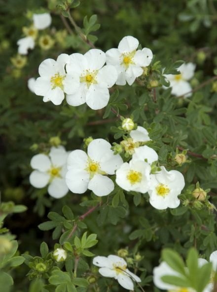 Potentilla fruticosa 'Abbotswood' (ganzerik)