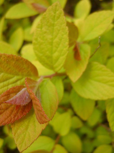 Spiraea japonica 'Goldflame' (Spierstruik)