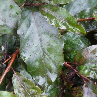 Fagus sylvatica 'Atropunicea' (Rode beukenhaag)