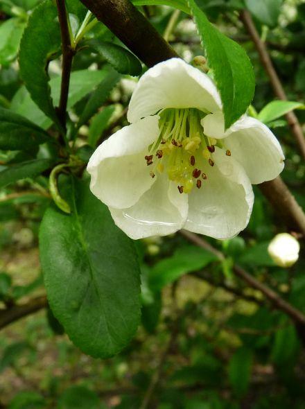 Chaenomeles speciosa 'Nivalis' (Japanse sierkwee, dwergkwee)