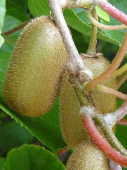 Actinidia deliciosa Hayward (Vrouwelijke Kiwi)