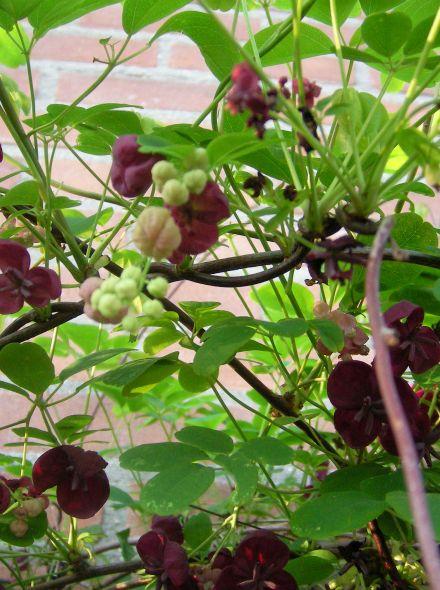 Akebia quinata (Klimbes, schijnaugurk)