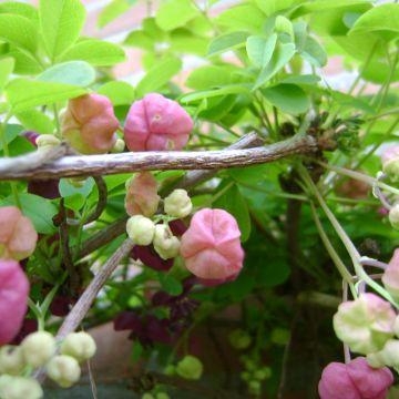 Waar vind je een klimplant met rode of mauve bloemen?