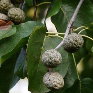 Alnus cordata (Hartbladige els, Italiaanse els)