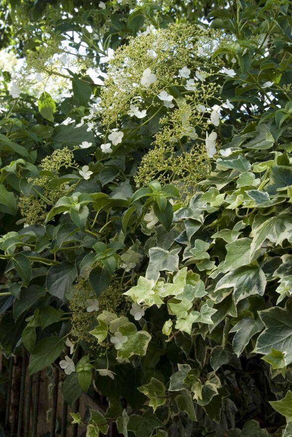 Hydrangea anomala petiolaris (klimhortensia)