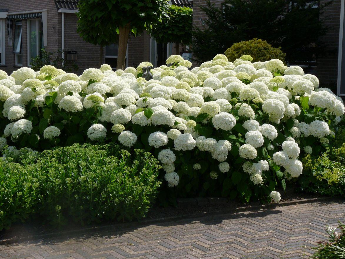 Hydrangea arborescens Annabelle (Sneeuwbal, Tuinhortensia)