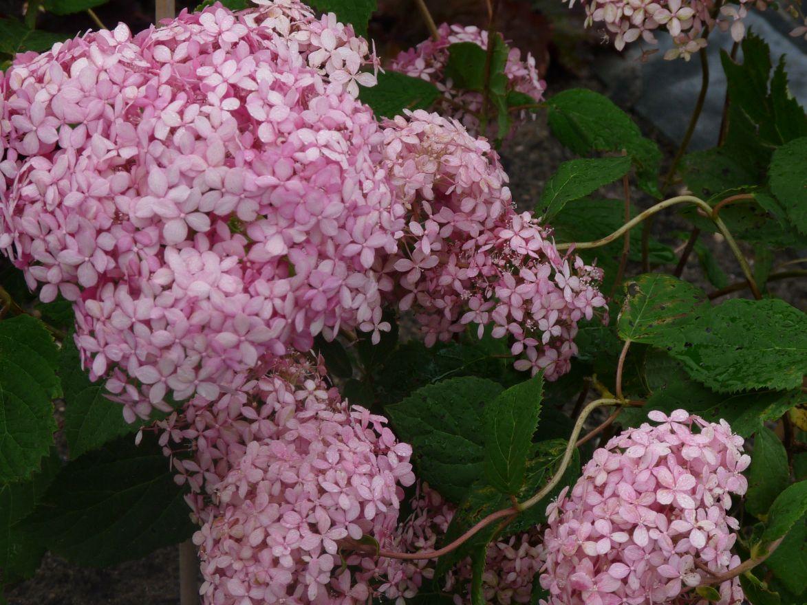 Hydrangea arborescens Pink Annabelle (Hydrangea arborescens 'Invincibelle', Pink Annabelle)