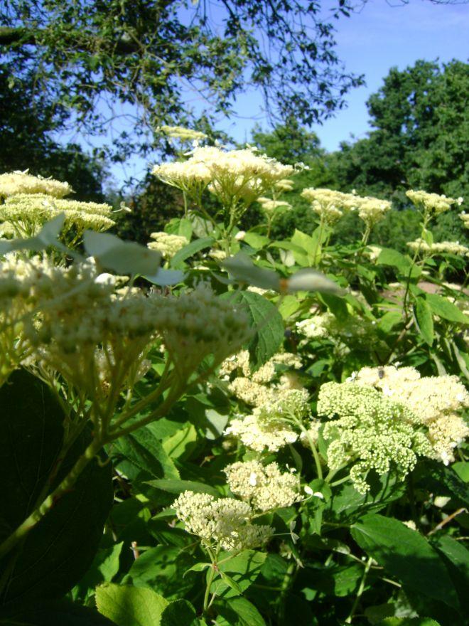 Hydrangea arborescens 'White Dome' (Sneeuwbal, Tuinhortensia)