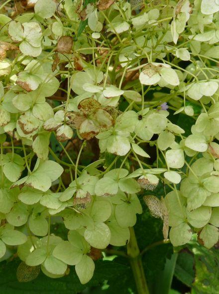 Hydrangea arborescens 'Incrediball' (Hortensia 'Strong Annabelle', Sneeuwbal, Tuinhortensia)