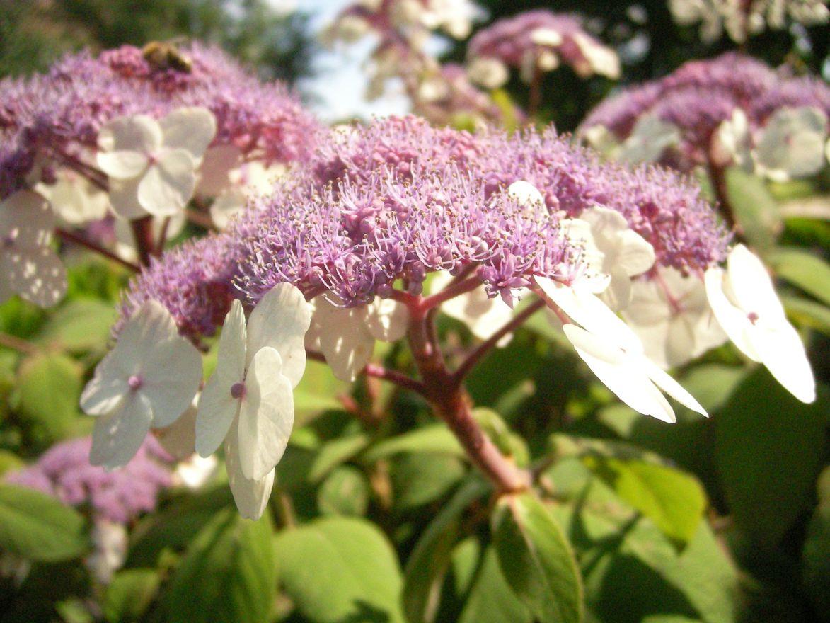 Hydrangea aspera Macrophylla (Fluweelhortensia)