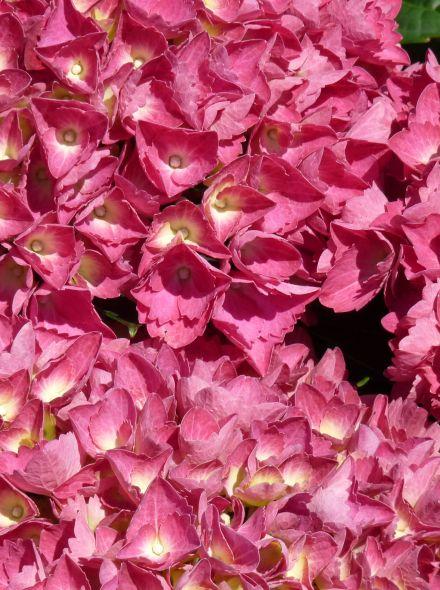 Hydrangea macrophylla Alpengluhen (Rozerode bolvormige tuinhortensia)