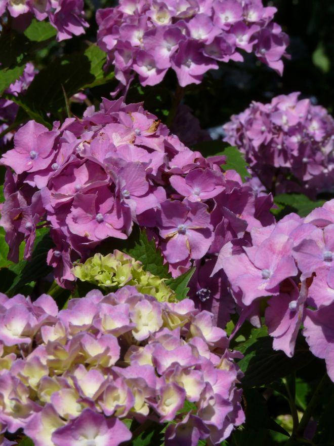 Hydrangea macrophylla Altona (Blauwe of roze bolvormige hortensia)
