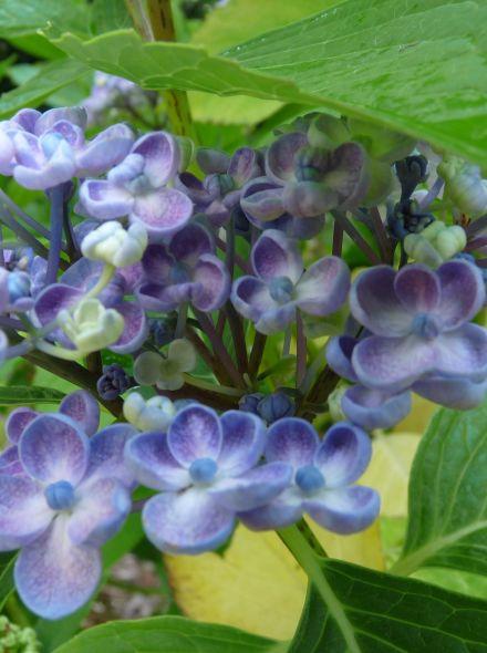 Hydrangea macrophylla Ayesha (Lila-blauwe bolvormige hortensia)
