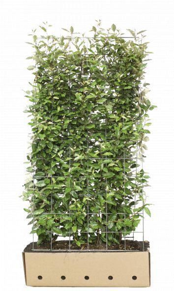 Kant - en - klaar haag Elaeagnus ebbingei 1,06 m lang en 1,8 m hoog  en 40 cm breed