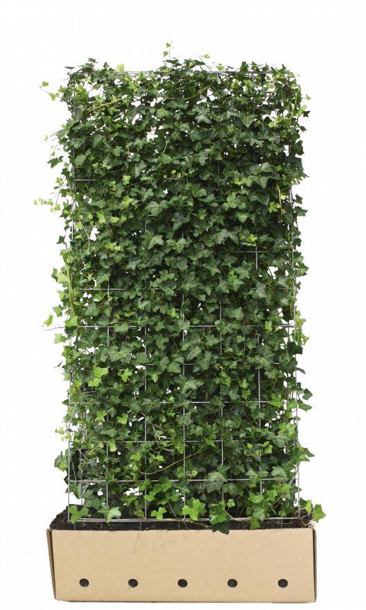 Kant - en - klaar haag Hedera hibernica 1m lang en 1,8 m hoog - 1 stuks