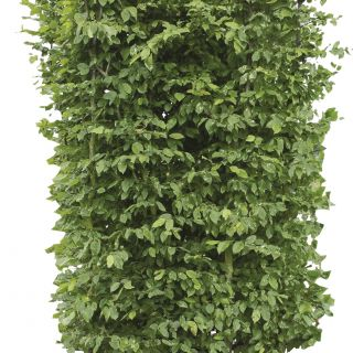 Kant - en - klaar haag Carpinus betulus 1 m lang en 2 m hoog - 1 stuks