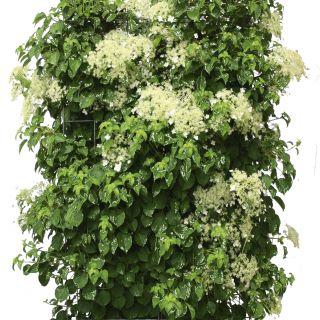 Kant - en - klaar haag Hydrangea anomala petiolaris 1m lang en 1,8 m hoog - 1 stuks