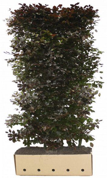 Kant - en - klaar haag Fagus sylvatica Atropunicea 1 m lang en 2 m hoog - 1 stuks